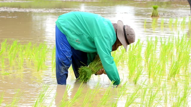 rice seedlings - paddy field stock videos & royalty-free footage