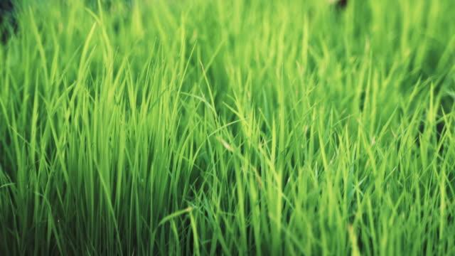 vídeos y material grabado en eventos de stock de brotes de arroz en el campo - grano planta