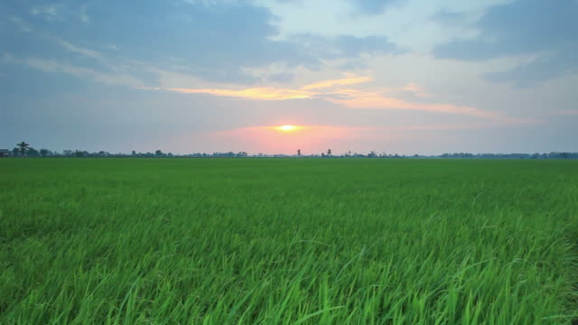 Rice sunset farm