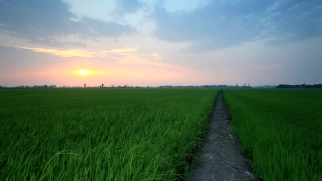 rice sunset farm - paddy field stock videos & royalty-free footage