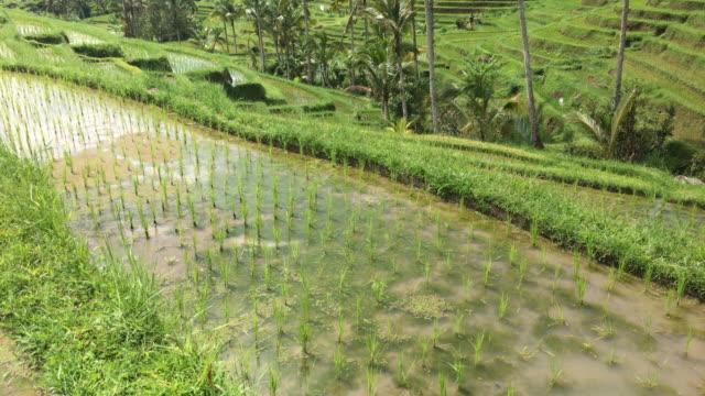 vidéos et rushes de terrasse de rizières à bali, indonésie - rizière