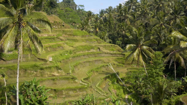 Rice terrace fields with palm trees in background