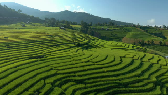 rice terrace harvesting time with aerial view dolly shot - luzon stock videos & royalty-free footage