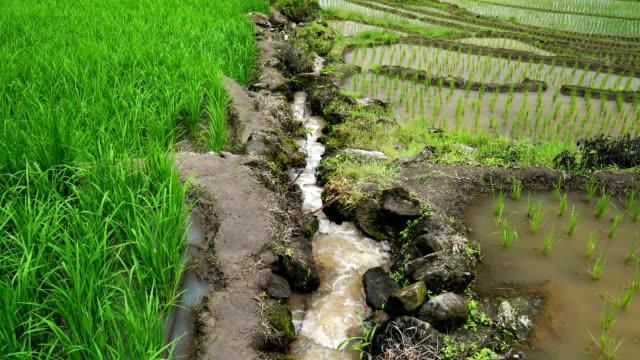 Rice terrace seedlings and growth in the field and water flowing in channel from nature in between on mounatin, at Ban Pa Bong Piang Hill tribe village, Chiangmai, Thailand. ZO
