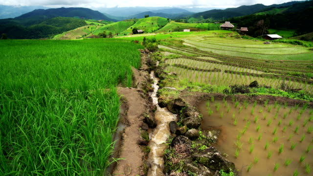 Rice terrace seedlings and growth in the field and water flowing in channel from nature in between on mounatin, at Ban Pa Bong Piang Hill tribe village, Chiangmai, Thailand.