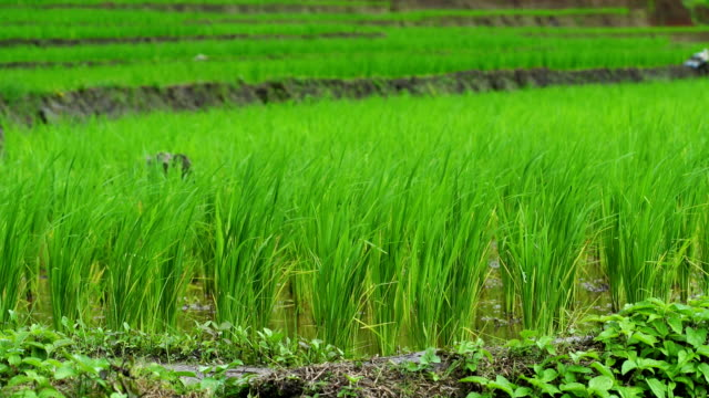 Rice terrace seedlings layer view in the field with water from nature ,at Ban Pa Bong Piang Hill tribe village, Chiangmai, Thailand : PR