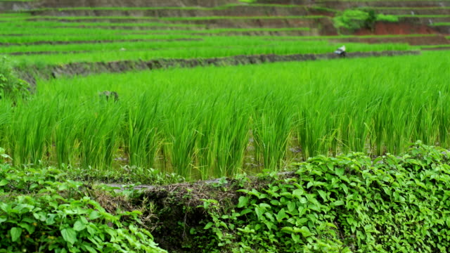 Rice terrace seedlings layer view in the field with water from nature ,at Ban Pa Bong Piang Hill tribe village, Chiangmai, Thailand