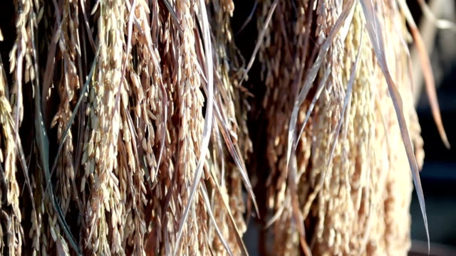 rice - paddy field stock videos & royalty-free footage