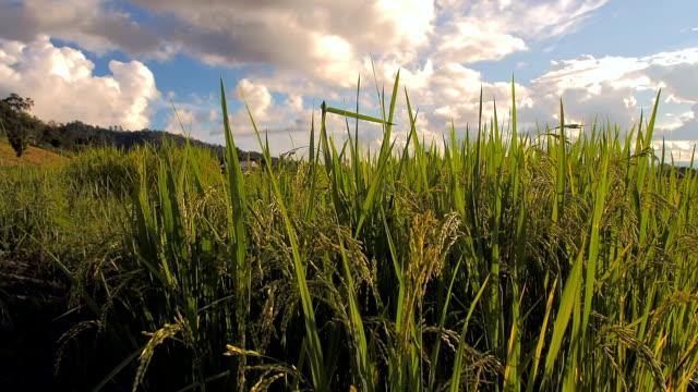 stockvideo's en b-roll-footage met rice - volkorentarwe