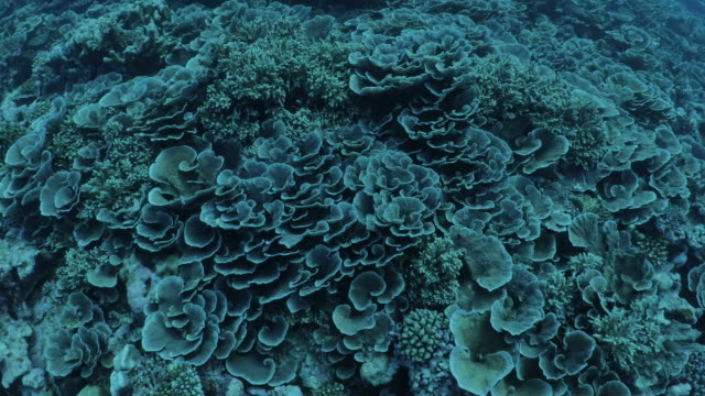 rich hard coral colony at deep sea in maldives - hard coral stock videos & royalty-free footage