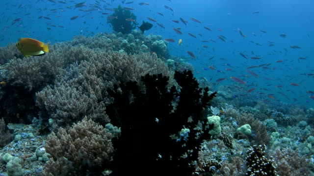 Rich reef with fusilier fish, damselfish and coral