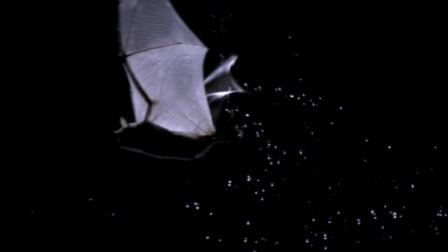 rickett's mouse eared bat (myotis pilosus) hunts fish in pool at night, china - hunting stock videos & royalty-free footage