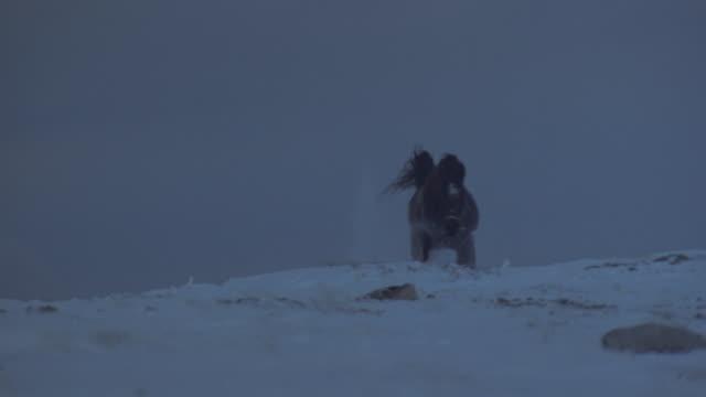 A riderless horse trots through snow on a rocky ridge in Tibet.
