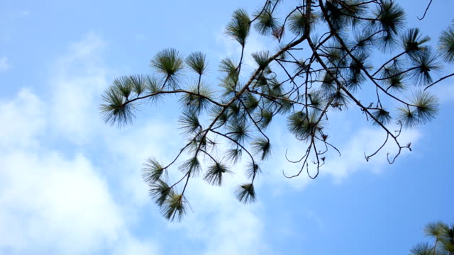 right positon leaf pine tree