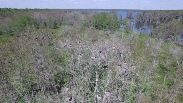 right to left half orbit of birds in nest - drone aerial 4k everglades, swamp bayou with wildlife alligator nesting ibis, anhinga, cormorant, snowy egret, spoonbill, blue heron, eagle, hawk, cypress tree 4k nature/wildlife/weather drone aerial video - bayou lafourche stock-videos und b-roll-filmmaterial