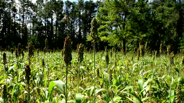 right to left horizontal pan of sorghum plantation in forest opening - sorghum stock videos & royalty-free footage