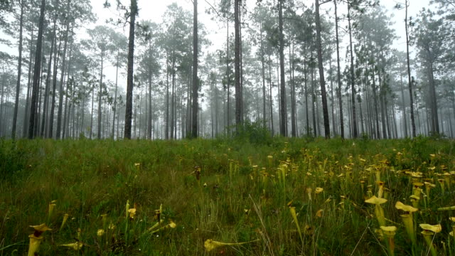 right-left pan across field of pitcher plants in morning mist - carnivorous plant stock videos and b-roll footage