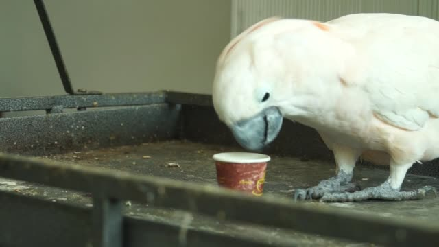 riko and koko, cockatoo specie parrots, drink coffee and tea from small paper cups at a pet shop in the shuja'iyya neighborhood of gaza city, gaza on... - coffee drink stock videos & royalty-free footage