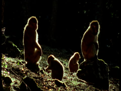 rim lit family of barbary macaques rests and forages in forest - babyhood stock videos & royalty-free footage
