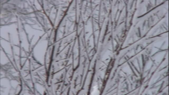 Rime covers budding twigs on trees in Hokkaido.