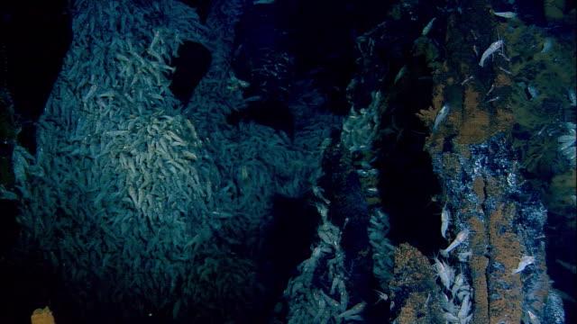 Rimicaris shrimps on black smoker deep sea vent, Mid Atlantic Ridge