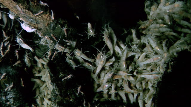 Rimicaris shrimps on black smoker deep sea vent, Mid Atlantic Ridge