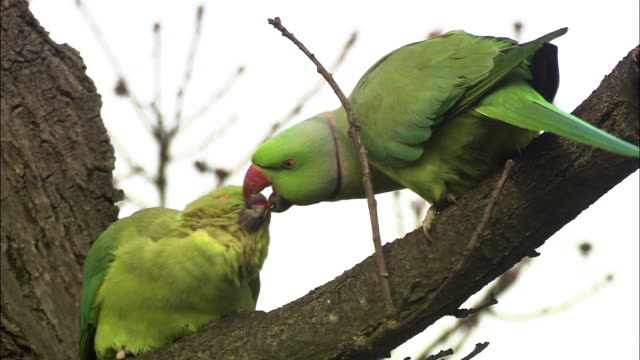 Ring necked parakeet (Psittacula krameri) and chick in tree, London, UK
