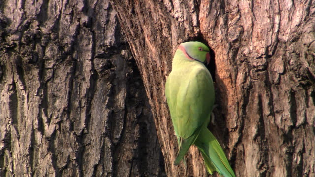 Ring necked parakeet (Psittacula krameri) at nest hole in oak tree, Bushy Park, London, UK