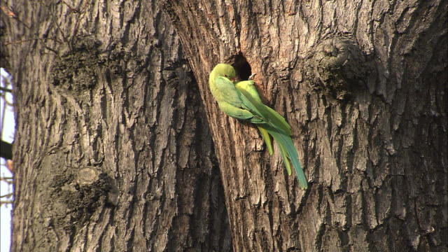 ring necked parakeet (psittacula krameri) enters nest hole in oak tree, bushy park, london, uk - hole stock videos & royalty-free footage