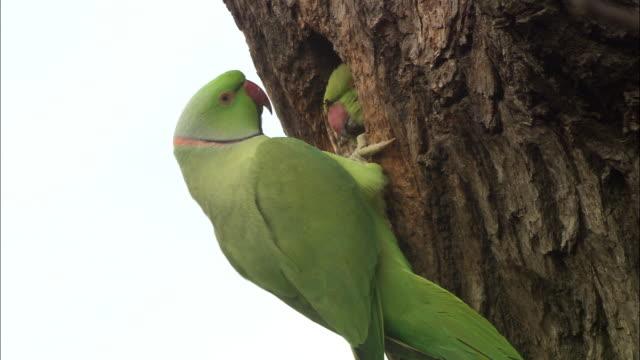 ring necked parakeets (psittacula krameri) at nesthole in oak tree, london, uk - bird's nest stock videos and b-roll footage