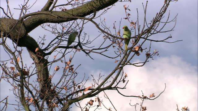 ring necked parakeets (psittacula krameri) in tree, london, uk - branch stock videos & royalty-free footage