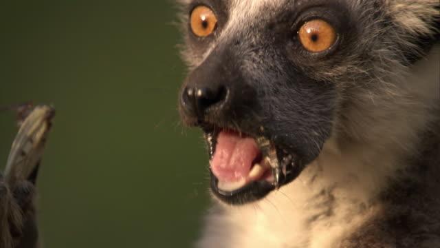 Ring tailed lemur (Lemur catta) chews and eats cicada (Cicadidae), Madagascar