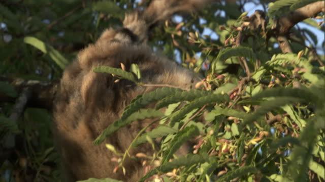 ring tailed lemur (lemur catta) grabs and eats cicada (cicadidae), madagascar - キツネザル点の映像素材/bロール
