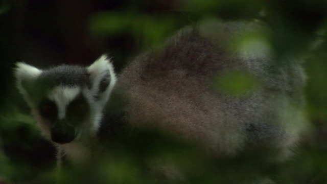 ring tailed lemur (lemur catta) in forest, madagascar  - inquadratura fissa video stock e b–roll