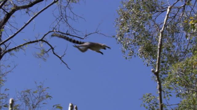 ring tailed lemur (lemur catta) leaps between trees, madagascar - キツネザル点の映像素材/bロール