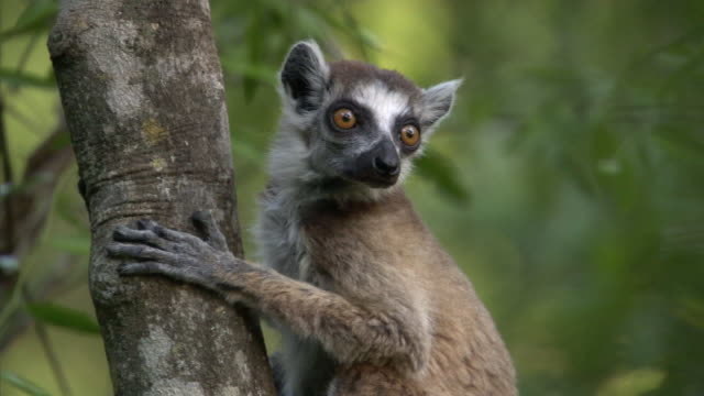 ring tailed lemur (lemur catta) looks around in forest, madagascar - staring stock videos & royalty-free footage