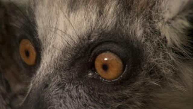 Ring tailed lemur (Lemur catta) looks around, Madagascar