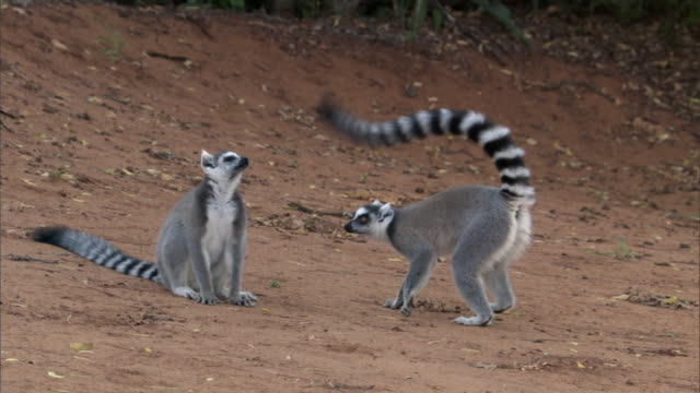 Ring tailed lemur (Lemur catta) scents and wafts its tail at rival, Madagascar