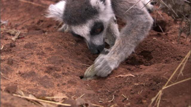Ring tailed lemur (Lemur catta) steals cicada from cicada wasp nest, Madagascar