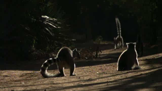 ring tailed lemur (lemur catta) submission and threat display, berenty, madagascar - 脅し点の映像素材/bロール