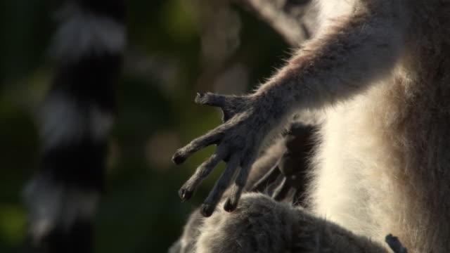 Ring tailed lemur (Lemur catta) sunbathes, Madagascar