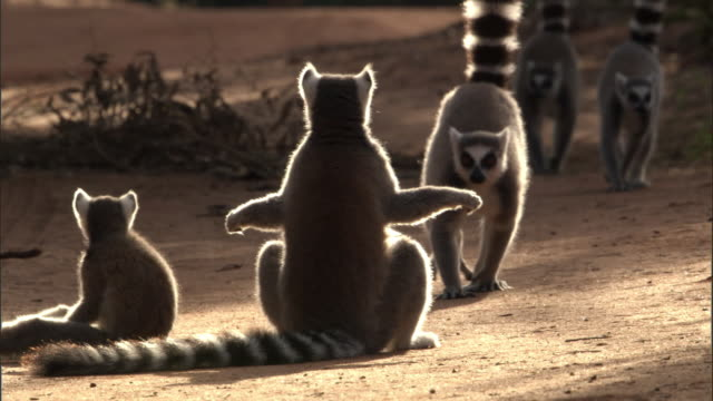 ring tailed lemur (lemur catta) sunbathes on ground, madagascar - sunbathing stock videos & royalty-free footage