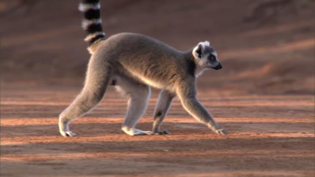 ring tailed lemur (lemur catta) walks on ground, madagascar - キツネザル点の映像素材/bロール