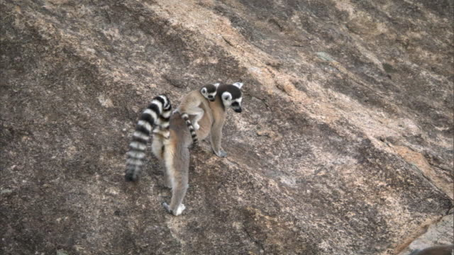 ring tailed lemur (lemur catta) with baby scrambles across rock face, madagascar  - rock face stock videos & royalty-free footage