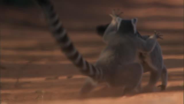 ring tailed lemurs (lemur catta) chase and fight, madagascar - 格闘技リング点の映像素材/bロール