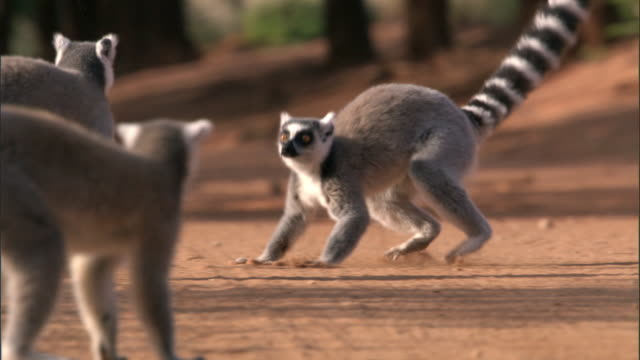 ring tailed lemurs (lemur catta) chase and fight, madagascar - group of animals stock videos & royalty-free footage