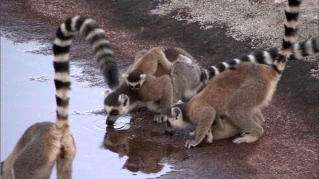 Ring tailed lemurs (Lemur catta) drink from pool, Madagascar