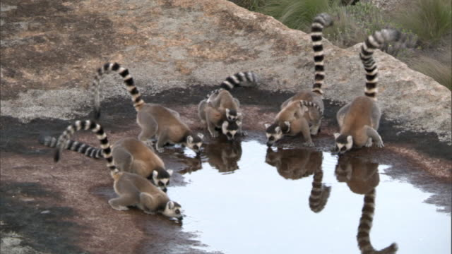 ring tailed lemurs (lemur catta) drink from pool, madagascar  - group of animals stock videos & royalty-free footage