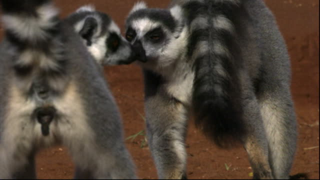 Ring tailed lemurs (Lemur catta) fight and squabble, Berenty, Madagascar