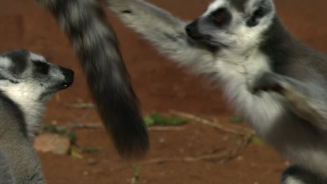 ring tailed lemurs (lemur catta) fight and squabble, berenty, madagascar - threats stock videos and b-roll footage